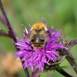 Common carder bee-fur worn from back